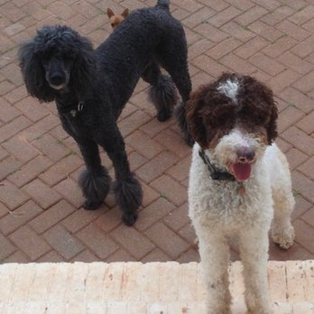 Standard Poodles Black Parti Factored Abstract And Brown