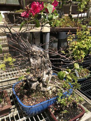 Bonsai House 15 Photos 16 Reviews Nurseries Gardening 8653 N Inkster Rd Westland Mi Phone Number Yelp