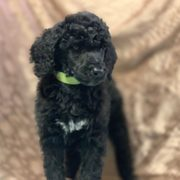 Mini Bernedoodle Puppies 2019 All You Need To Know Before
