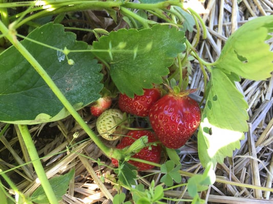 Lavigne Strawberry Farm 158 Whichers Mill Rd Sanford Me Fruits Vegetables Mapquest