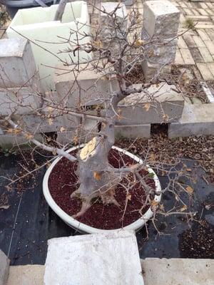 Bent Tree Bonsai 5915 S Cockrell Hill Rd Dallas Tx Nurseries Mapquest