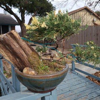 Bent Tree Bonsai Nurseries Gardening 5915 S Cockrell Hill Rd Dallas Tx Phone Number Yelp