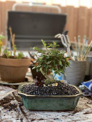 Sunshine Miniature Trees 49 Photos 62 Reviews Nurseries Gardening 7118 Greenville Ave Lake Highlands Dallas Tx Phone Number Yelp