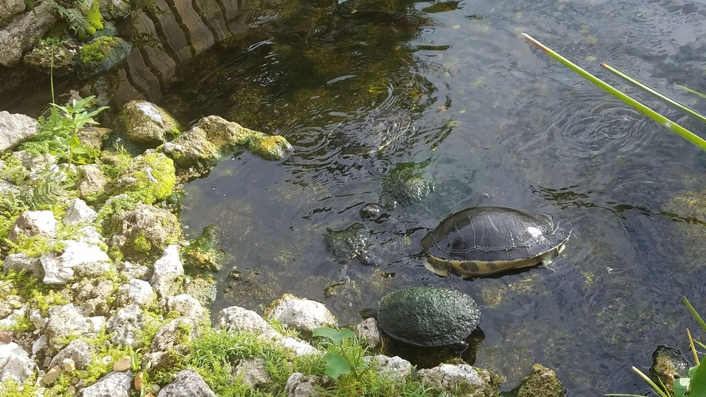Photo of The Fish Hole - Lakewood Ranch, FL, United States. Huge turtles