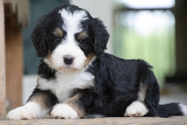 Kandis Sweet Bernedoodle Puppies Byron Center Mi Mapquest