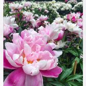Photo of Nichols Arboretum - Ann Arbor, MI, United States. Peony gardens