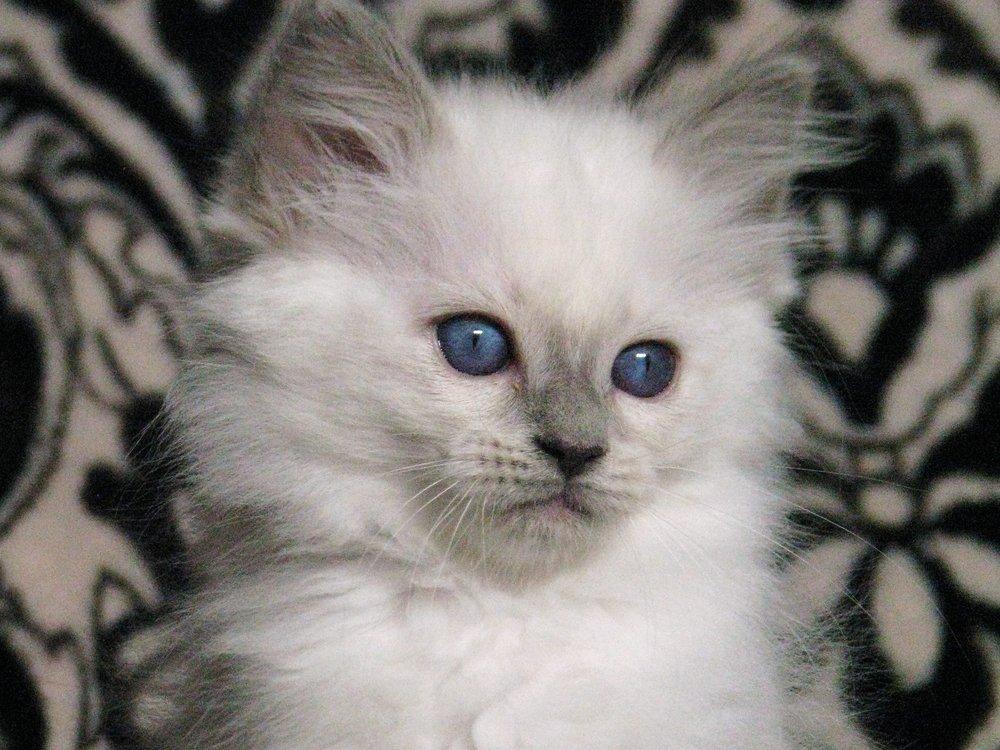 Balinese Kittens Yelp