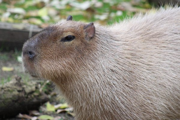 Photo of Brandywine Zoo - Wilmington, DE, US. capybara