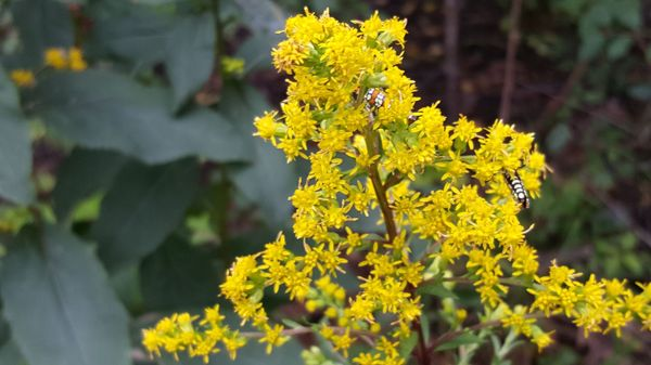 Photo of Nichols Arboretum - Ann Arbor, MI, United States. Bugs in the Goldenrod.