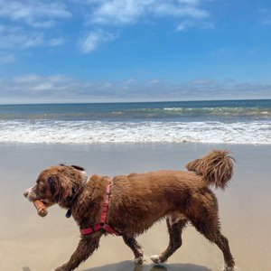 Photo of Arroyo Burro Beach - Santa Barbara, CA, United States. Milo enjoying the off-leash beach