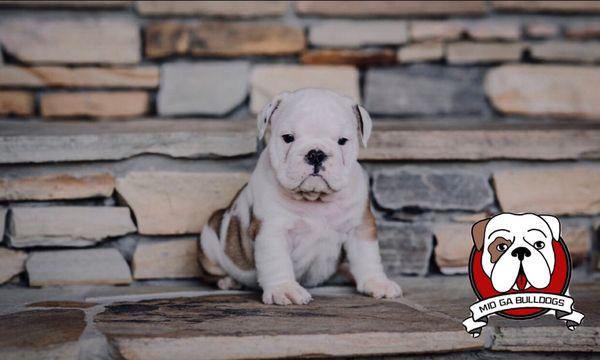 Mid Ga Bulldogs Request Information 27 Photos Pet Breeders