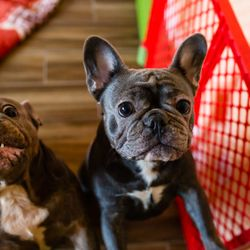 French Bulldog Puppies Los Angeles 2019 All You Need To