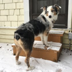 Cut Loose Aussies Dogs
