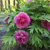 Photo of Nichols Arboretum - Ann Arbor, MI, United States. Peony flowers!