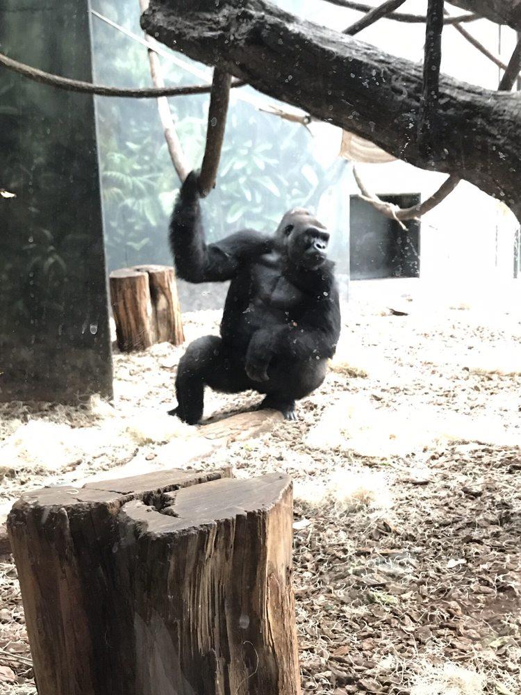 Photo of Lincoln Park Zoo - Chicago, IL, United States. Gorilla