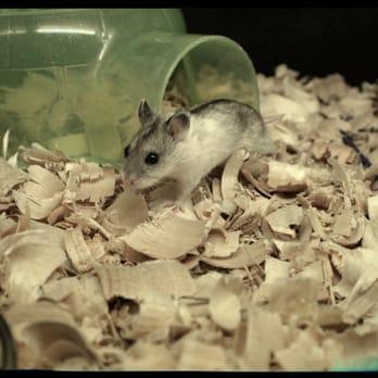 Long Haired Hamster Petsmart 33