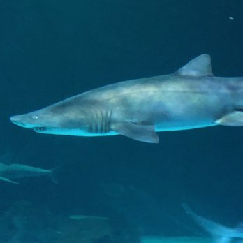 Creepy Shark Yelp