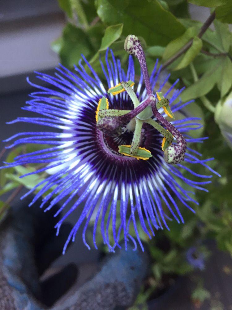 Passiflora Vine Yelp
