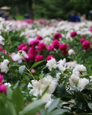 Photo of Nichols Arboretum - Ann Arbor, MI, United States. A sea of peonies, they smell amazing