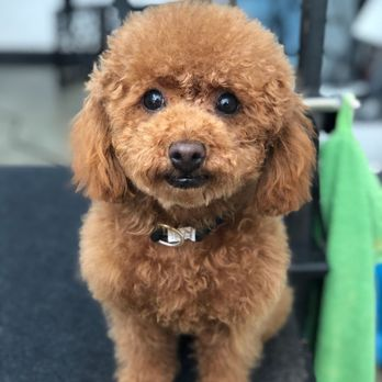 Sam The Red Toy Poodle Thank You Virginia Yelp