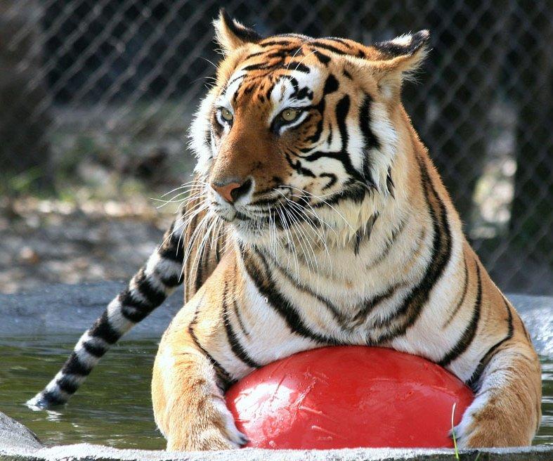 Photo of Big Cat Habitat Gulf Coast Sanctuary - Sarasota, FL, United States