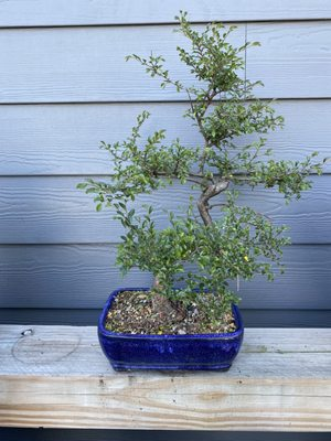Bc Bonsai 18 Photos Nurseries Gardening 2250 Durham Dr Wheaton Il United States Phone Number Yelp