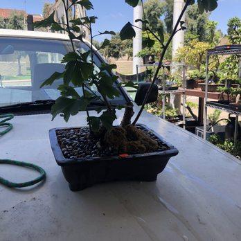 San Diego Bonsai Supplies 29 Photos Nurseries Gardening 5255 University Ave Rolando San Diego Ca Phone Number Yelp