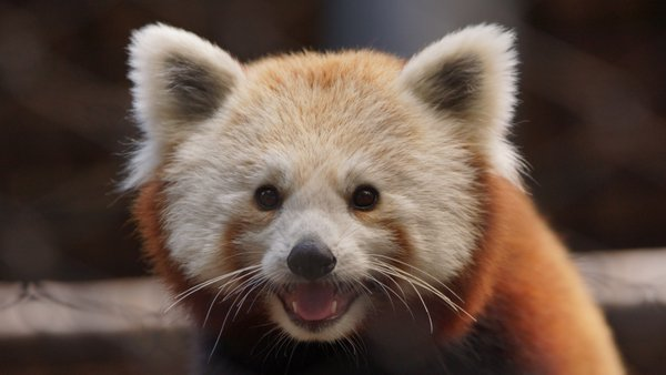 Photo of Brandywine Zoo - Wilmington, DE, US. Red Panda