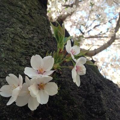 Sakura K.