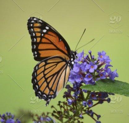 Butterfly Girl B.