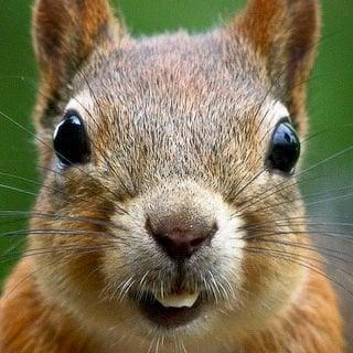 Squirrel N.