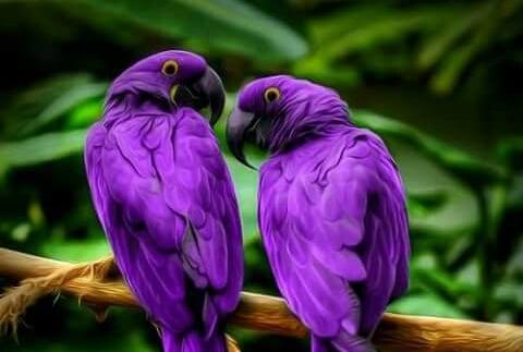 Purple L.